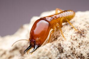 شركات مكافحة النمل الابيض بالطائف